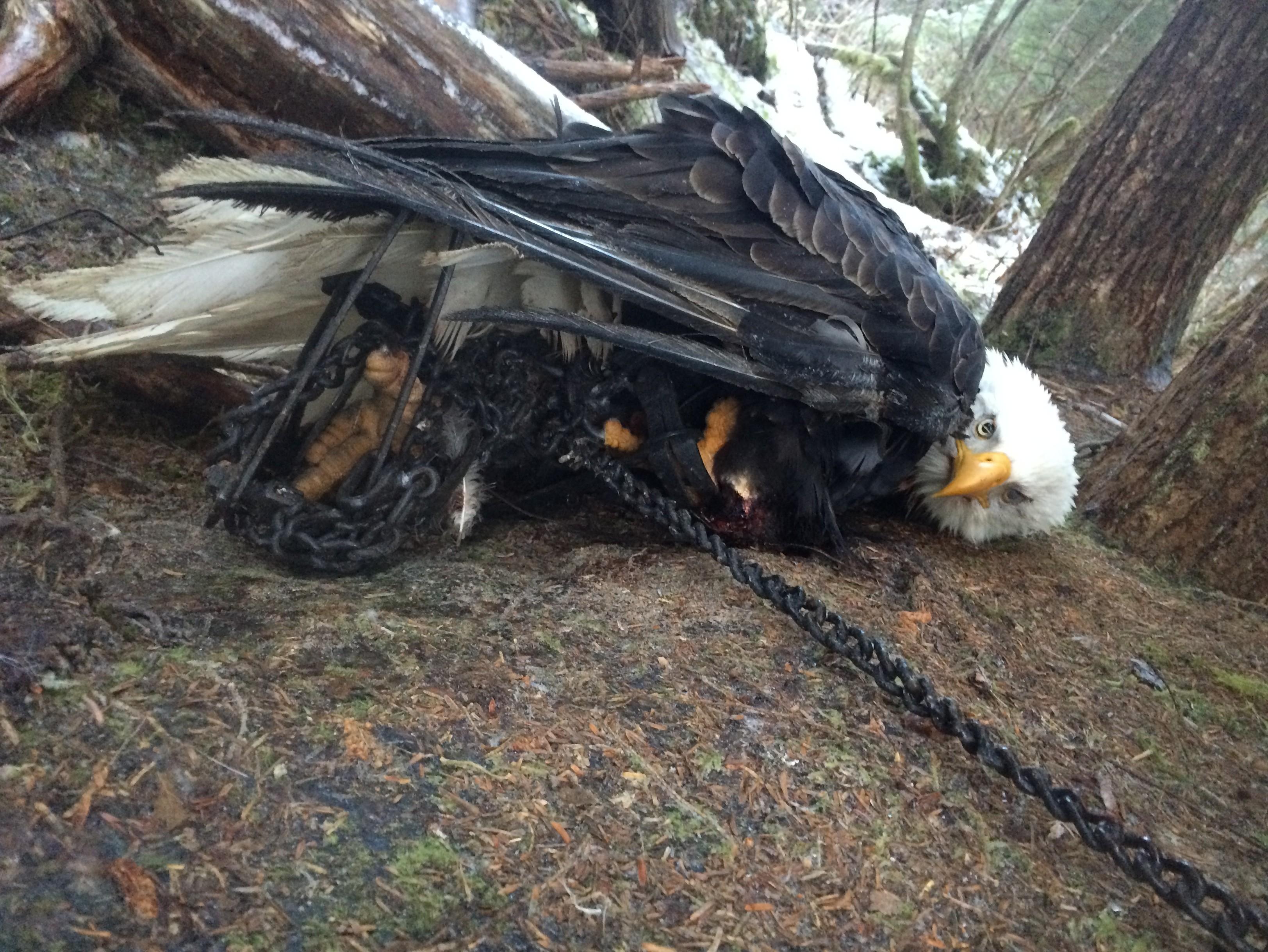 how to kill bald eagle far cry 5