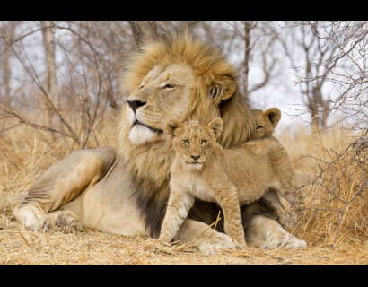 male lion with cubs - 410×320